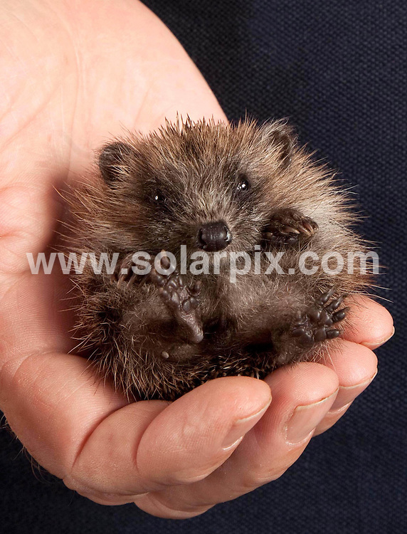 """**ALL ROUND PICTURES FROM SOLARPIX.COM**                                             **NO UK NEWSPAPER PUBLICATION**.**UK MAGAZINE & SUPPLEMENT PUBLICATION ONLY** AND NO PUBLICATION IN AUSTRALIA, BELGIUM, FRANCE, GERMANY, ITALY, SCANDINAVIA AND USA**                                                                                  Caption:  This little hedgehog has been named Tiny Tim by staff at the St Tiggywinkles wildlife in Bucks because he is ten times smaller than your average hedgehog. Although fully grown Tim only measures approximately three inches and weighs just 51 grams which is ten times smaller than your average juvenile hedgehog..""""Tim currently only weighs 51 grams and the average hedgehog of his age weighs 500 grams"""" said Les Stocker founder of the hospital.""""I don't think he knows quite how small he is. He doesn't seem to be bothered by his size and appears to be very confident"""" Tiny Tim was found in a street in Buckingham  by a member of the public last week and was taken to St Tiggywinkles with an initial leg injury. After being given the all clear staff decided to continue to care for him because he is so small. """"We don't know why he is so tiny. It might be a genetic problem. He is eating well and we are hoping he'll grow. If he doesn't get any bigger  we will keep him at the hospital for his own safety. He seems to be enjoying his time here and has settled in nicely"""". UK. 30 August 2011.                                                                            This pic: Tiny Tim the hedgehog                                                                                             JOB REF: 13906 SFE       DATE: 30_08_2011                                                          **MUST CREDIT SOLARPIX.COM OR DOUBLE FEE WILL BE CHARGED**                                                                      **MUST AGREE FEE BEFORE ONLINE USAGE**                               **CALL US ON: +34 952 811 768 or LOW RATE FROM UK 0844 617 7637**"""