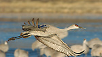 Sandhill Crane Takeoff Bosque del Apache Wildlife Refuge New Mexico
