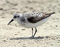 Juvenile sanderling in Sept