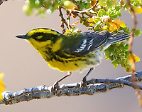 Female Townsend's warbler
