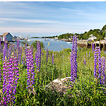 Lupines in Boothbay, Maine, USA