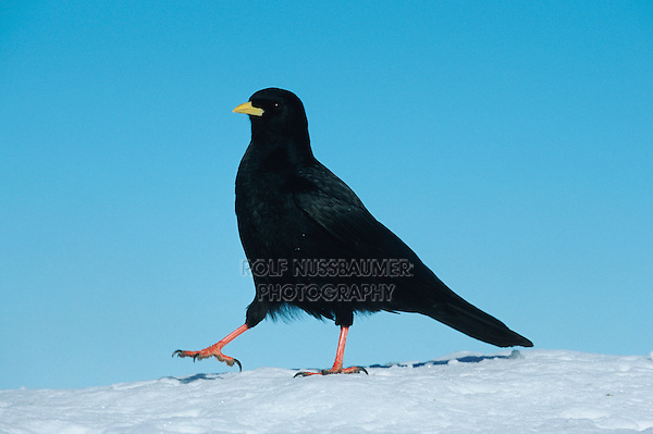 Alpine Chough (Pyrrhocorax graculus), adult walking on snow, Pilatus, Switzerland