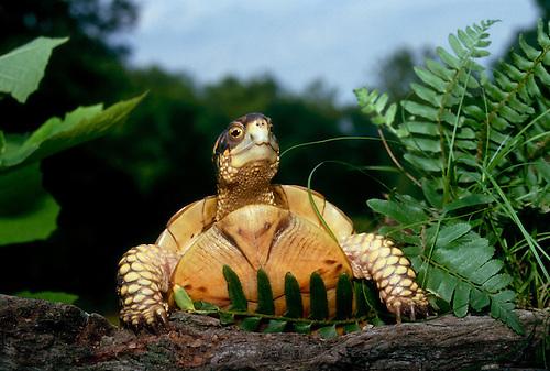 Three toed box turtle, Terrapene Carolina triunguis, looks over log, Mo.