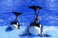 Two killer whales posing in the blue pool of San Diego Sea World foto, reise, photograph, image, images, photo,<br />