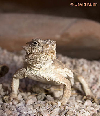 0610-1013  Desert Horned Lizard or Horny Toad (Mojave Desert), Phrynosoma platyrhinos  © David Kuhn/Dwight Kuhn Photography