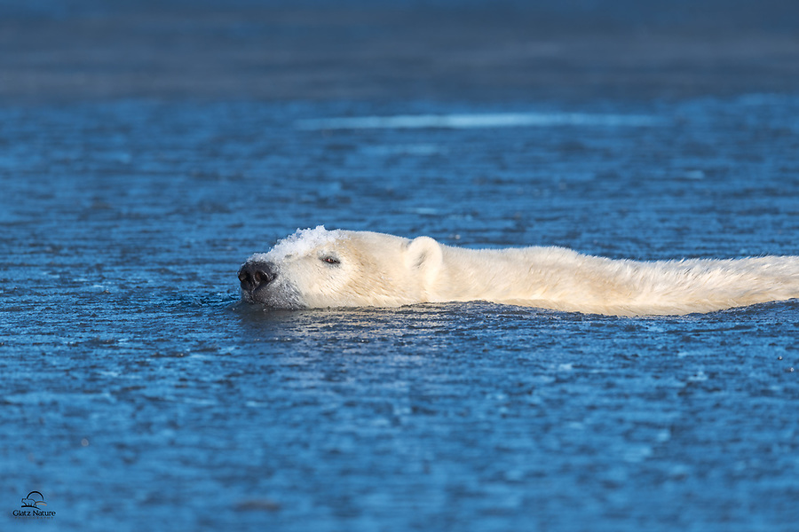 Large male Polar Bear (Ursus maritimus) takes a relaxing swim in the chilly bay. He was coasting along, with a piece of ice clinging to his forehead, and had no issues with the cold water. He did however give us a bit of side eye as he passed our boat.