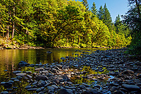 Bigleaf maple trees along Sol Duc River.  Olympic Peninsula, Washington.  Sept.