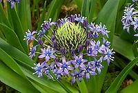 Bulb Scilla peruviana blue flower closeup
