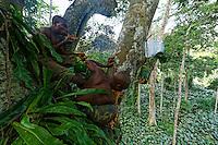 """At over 40 metres above the ground, the honey-hunters smoke the bees and gather the honey from the forest canopy. During the little honey season in April and May, the harvests are smaller than during the big season in August and September. Several nests are harvested each day. The period with an abundance of honey is called """"Nbosso"""", August September. Everybody is in the forest and there's no one left in the village. It's during this period that the """"Douma"""", the honey wine, is made.///A plus de 40 mètres du sol, les chasseurs de miel enfument les abeilles et récoltent le miel de la canopée. Pendant la petite saison du miel en mars avril, les récoltes sont moins importantes que lors de la grande saison du miel en août septembre. Plusieurs nids sont récoltés chaque jour. La période de l'abondance du miel est appelée «Nbosso» Aout Septembre. Tout le monde est en forêt et il n'y a plus personne au village. C'est pendant cette période qu'est fabriqué le «Douma», le vin de miel."""