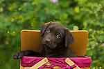 Chocolate Labrador retriever
