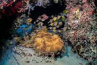 ornate or banded wobbegong or carpet shark, Orectolobus ornatus, Manta Bommie, N. Stradbroke Island, near Brisbane, Queensland, Australia