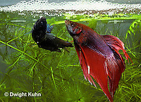 BY05-104z  Siamese Fighting Fish - female (L) eating eggs in bubble nest male (R) putting eggs in nest - Betta splendens