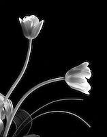 Two tulips.<br /> <br /> Mamiya RB67 Pro SD, 90mm lens, Kodak TMAX 100 film