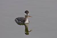 Horned grebe (Podiceps auritus) feeding on what I believe is a Northern Clingfish (Gobiesox maeandrichs).