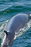 "Adult fin whale (Balaenoptera physalus) surfacing near Isla Carmen in the lower Gulf of California (Sea of Cortez), Mexico. This baleen whale is uniquely asymmetrical in its coloration; the right lower jaw is usually white in color whereas the left lower jaw is black. Also note the grey chevron pattern on the back of this animal, another defining color pattern. The fin whale believed to be the second largest animal to have ever lived on planet Earth. Within the Gulf of California there are almost 500 individual animals that do not migrate to higher lattitudes to feed in summer months, they are considered to be ""resident"" to the Gulf of California. Note the parasitic copepods on the trailing edge of the dorsal fin, probably Penella spp."