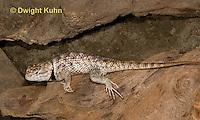 1R19-511z  Western Fence Lizard, Blue Belly Lizard, Swift, Sceloporus occidentalis