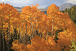 Aspen trees in autumn foliage, Colorado .  John offers private photo tours and workshops throughout Colorado. Year-round.