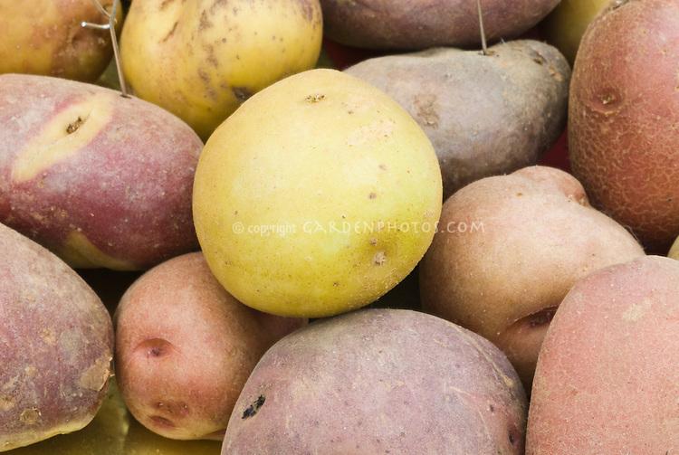 Potatoes Solanum tuberosum ssp. andigena (mixed), 48 chromosomes