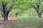 Orchards and Vineyards cover the Rattlesnake Hills, near Yakima, Washington.  Washington State's Yakima Valley, with 300 days of sunshine per year sports some of the finest vineyards in the state.  Rattlesnake Hills EVA shares hillsides and valley with traditional orchard crops.