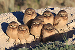 Burrowing Owl (Athene cunicularia) nestlings standing outside their nest burrow in sagebrush country. Idaho. July.