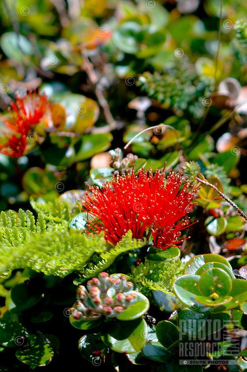 'Ohi'a lehua flower in the rain forest at Pu'u Kukui Watershed Preserve, West Maui Mountains, Maui