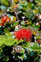'Ohi'a lehua flower in the rain forest at Pu'u Kukui Watershed Preserve, West Maui Mountains, Maui