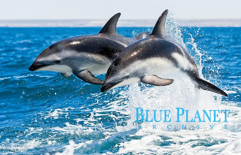 dusky dolphin, Lagenorhynchus obscurus, jumping, Puerto Madryn, Peninsula Valdez, Argentina, Atlantic Ocean
