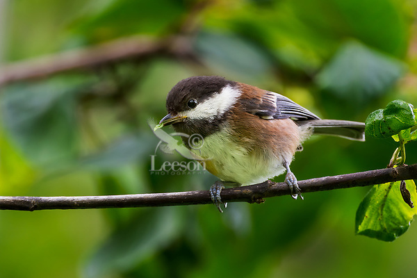 Chestnut-backed Chickadee (Poecile rufescens) eating small green worm/caterpillar. Pacific Northwest.  June.