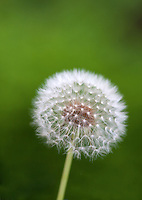 dandelion flower; parachute ball against dark green background