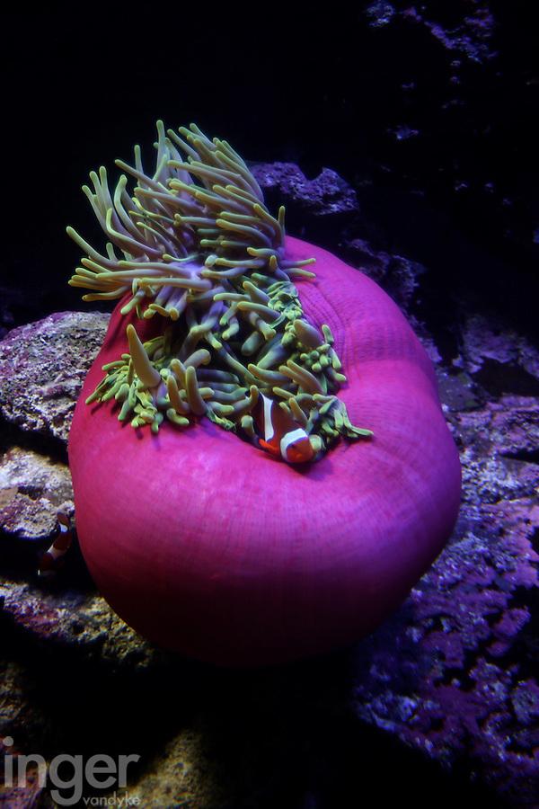 Pink Anemone, Christmas Island, Indian Ocean