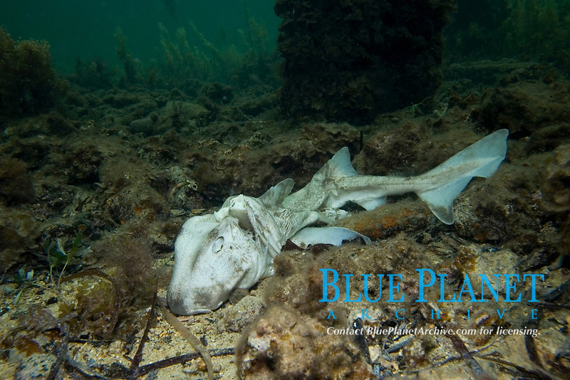 Port Jackson Shark, Heterodontus portusjacksoni, the carcass of a dead port jacskon shark that was caught by Recreational fisherman and had its gills cut out and thrown back in the water, Wool Bay, South Australia, Australia, Southern Ocean