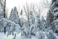 WT09-006c  Weather - weight of snow on trees
