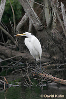 0111-0939  Great Egret, Ardea alba  © David Kuhn/Dwight Kuhn Photography