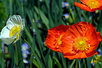 Iceland poppies flowers (scientific name: Papaver nudicaule) with pistil and petals, blooming in the Dallas Arboretum Park, Texas, USA, United States.