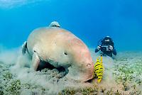 Dugong, Sea Cow, feeding on the sea grass, Gnathanodon Speciosus, scuba diver, Egypt, Red Sea, Indian Ocean