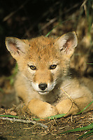 Wild Coyote (Canis latrans) pup.  Western U.S., June.