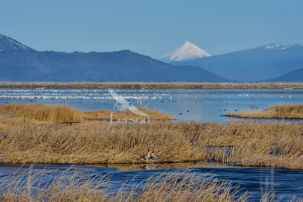 Canada Geese, American Coot, Tundra Swans and miscellaneous waterfowl at Lower Klamath NWR, Oregon/California.  Feb-March.  Looking north across Refuge at Mount McLoughlin in Oregon.