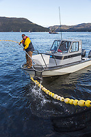 Alaska Department of Fish and Game samples a net full of Herring caught by the F/V Ace, during the 2016 Sitka sac roe herring fishery, near Sitka, Alaska.