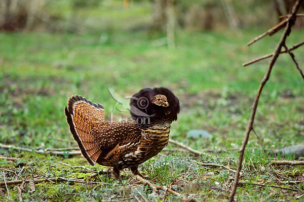 BG203  Male Ruffed Grouse displaying with ruff up mating display (different than drumming display).  Pacific Northwest.  April.