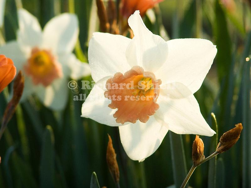 backlit Pink Daffodil, Narcissus Pink Pride