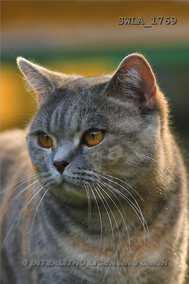 Carl, ANIMALS, photos, grey cat, portrait(SWLA1769,#A#) Katzen, gatos