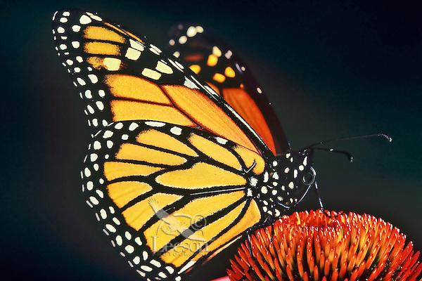 Monarch butterfly (Danaus plexippus) nectaring or resting on coneflower.