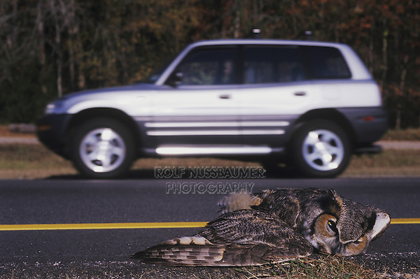 Great Horned Owl, Bubo virginianus , adult killed on road, Raleigh, Wake County, North Carolina, USA