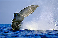 humpback whale, Megaptera novaeangliae, peduncle throw tail breach, Hawaii, USA, Pacific Ocean