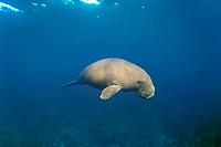 dugongs or sea cows, Dugong dugon, outside of Shark Bay, Western Australia (Indian Ocean)