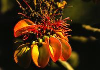 Wiliwili flower (erythrina sandwicensis) in dry forest area.