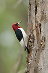 Red-headed Woodpecker, North Dakota.