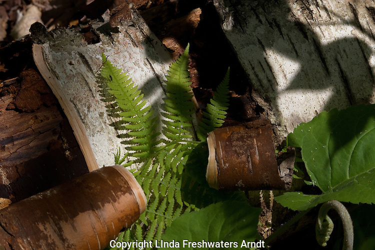 Fern and birch bark