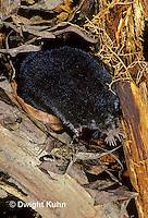 MB08-004z  Star-nosed Mole - in nest - Condylura cristata