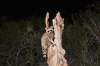 Northern Raccoon (Procyon lotor), adult at night in tree, Sinton, Corpus Christi, Coastal Bend, Texas, USA